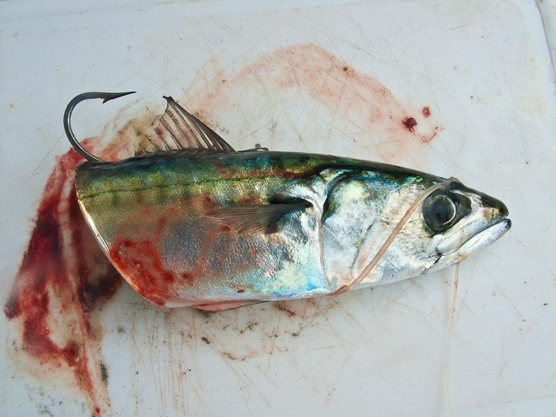 mackerelwhole2
