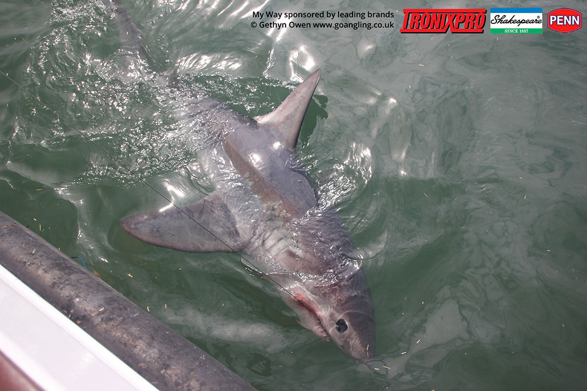 A hungry My Way porbeagle