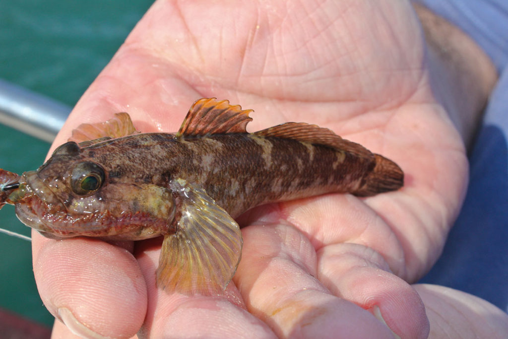 rock-goby