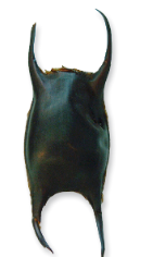 spotted-ray-egg-case