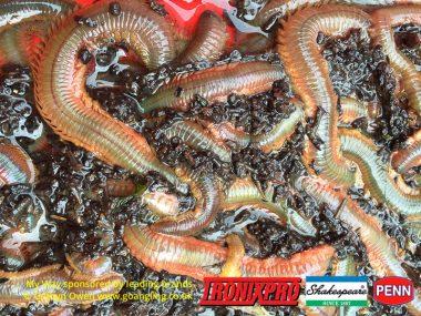 2016_ragworm-1